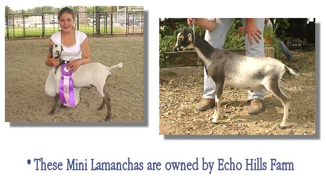 Mini Lamanchas - owned by echo hills farm