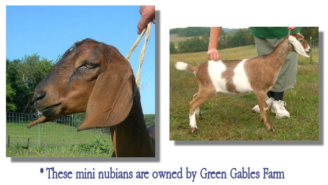 Mini Nubians - owned by Green Gables