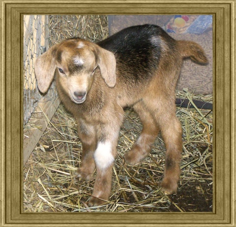 Peanut ~ Mini Nubian ~ Julie Lil' Goat Farm